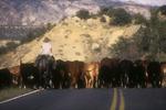 One-man cattle drive, Escalante, Utah