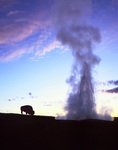 Bison grazing by Old Faithful geyser, Yellowstone National Park, Wyoming