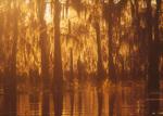 Cypress trees in late afternoon, Atchafalaya Swamp, Louisiana