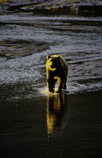 Coastal brown (grizzly) bear fishing in brackish stream, Lake Clark National Park, Alaska