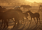 wild horses at the BLM Adoption Ranch, Nevada