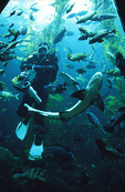 Diver feeds the fish and talks about marine ecology, in the main tank, Monterey Bay Aquarium, Monterey, California