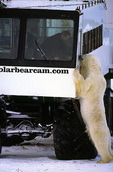 Dancer the bear stands up to see Dennis, operator of the polar bear cam, tundra buggy, Churchill, Manitoba, Canada