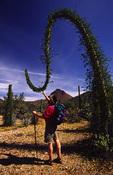 Hiker examines Boojum (cirio) tree, Sierra San Borja, Baja California del Norte, Mexico