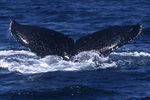 Tail of a diving humpback whale, off Moss Landing, California
