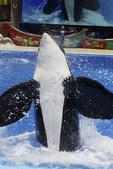 Killer whale show at Sea World, San Diego, California