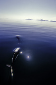 Dall porpoises swimming in Prince William Sound, Alaska
