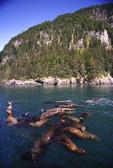 juvenile Stellar sea lions, swimming off Pt. Bullhead, Glacier island, Prince William Sound, Alaska