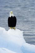 Bald eagle on iceberg, Prince William Sound, Alaska