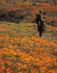 Poppies and saguaro cactus in springtime, Central Arizona