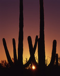 Sunset through saguaro cactus, Organ Pipe Cactus National Monument, Arizona