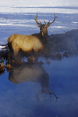 Elk reflected in meltpond, Yellowstone National Park, Wyoming
