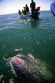 A baby gray whales plays next to our panga, in Bahia Magdalena, Baja California Sur, Mexico