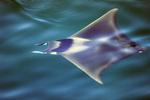 Manta ray swimming in the Sea of Cortez, Baja California Sur, Mexico