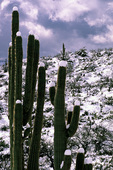 Spring snow caps saguaro cactus, Superstition Mountains, Arizona