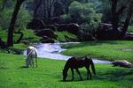 Horses graze by stream in the Sierra Nevada foothills south of Oakhurst, California