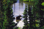A moose browses in a pond, viewed from the Grinnell Glacier trail, Glacier National Park, Montana