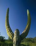A cardon cactus stretches its arms skyward in Baja California Sur, Mexico