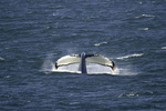 Fluke of a large humpback whale, Icy Strait