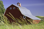 Wheat grows before a red barn in the Palouse of eastern Washington