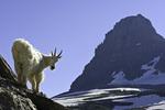 A mountain goat off the Highline Trail, Logan Pass, Glacier National Park, Montana