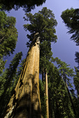 The General Sherman tree is the largest living organism in terms of bulk, Sequoia National Park, California