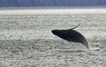 A humpback whale breaches off Point Adolphus, near the entrance to Glacier Bay National Park, Alaska