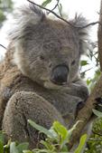 Wary male koala in his tree, Tower Hill Game Reserve, Worn Gundiji, Victoria, Australia