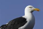 A red dot gull on Isla Coronado, Sea of Cortez, Baja California Sur, Mexico