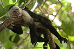 A white faced capuchin monkey rests above a trail in Manuel Antonio National Park, Costa Rica