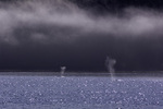 Humpback whales spout below a line of fog in Idaho Inlet, near Point Adolphus, Alaska