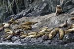 Stellar sea lions at a haul-out on Glacier Island, Prince William Sound, Alaska