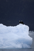 Bald eagles on an iceberg in the forebay of the Columbia Glacier, Prince William Sound, Alaska