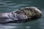 A sea otter sleeps in the rain in the harbor of Valdez, Alaska
