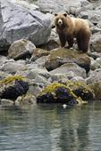 A brown bear feeding in the intertidal zone, Glacier Bay National Park, Alaska