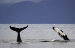 The fluke and flipper of two humpback whales in the waters off Point Adolphus, Icy Strait near the entrance to Glacier Bay National Park, Alaska
