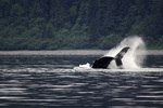 A humpback whale flings water from its fluke off Point Adolphus, off Icy Strait, near the entrance to Glacier Bay National Park, Alaska