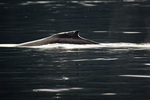 The hump that gives the humpback whale its name, Point Adolphus, Icy Strait, Alaska