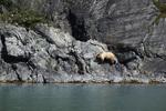 A brown bear walks above the intertidal zone in John Hopkins Inlet, Glacier Bay National Park, Alaska