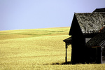 An abandoned farmhouse surrounded by wheat in the Palouse of Eastern Washington