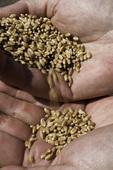 Wheat from the Palouse, Eastern Washington