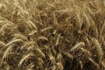 Wheat growing in the field, Palouse, Eastern Washington