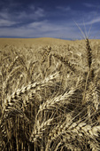 Wheat growing in the field, Palouse, Eastern Washington