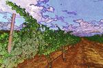 Mourvedrae grapes, Alacantara Vineyards, Verde Valley, Arizona