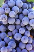 Zinfandel grapes at Alcantara Vineyards, Verde Valley, Arizona