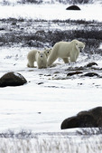 A sow and her cubs roam the tundra near Hudson Bay and Churchill, Manitoba, Canada
