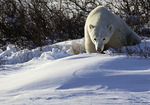 Resting warily on the tundra near Hudson Bay and Churchill, Manitoba, Canada