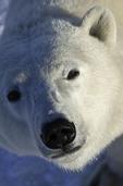 A curious polar bear on the tundra near Hudson Bay and Churchill, Manitoba, Canada