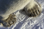 Polar bear paws and claws on the tundra near Hudson Bay and Churchill, Manitoba, Canada