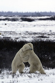 Sparring on the tundra near Hudson Bay and Churchill, Manitoba, Canada